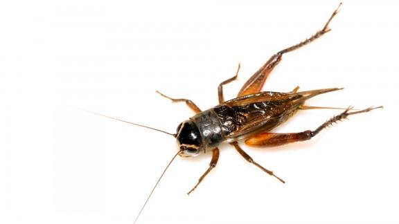 Cvrček domácí (Acheta domesticus)