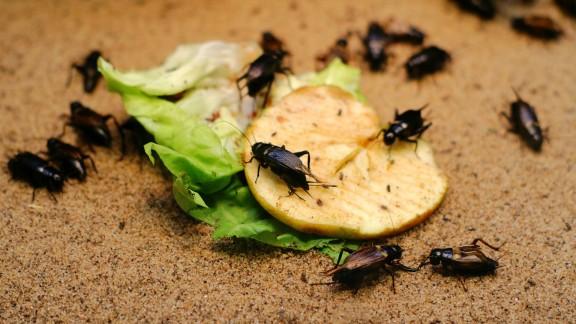 Kalamita cvrčků