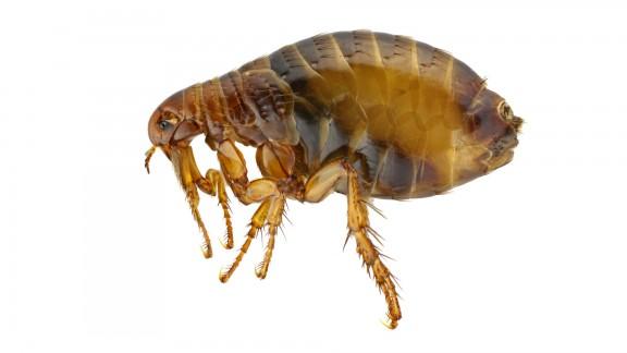Blecha kočičí (Ctenocephalides felis)