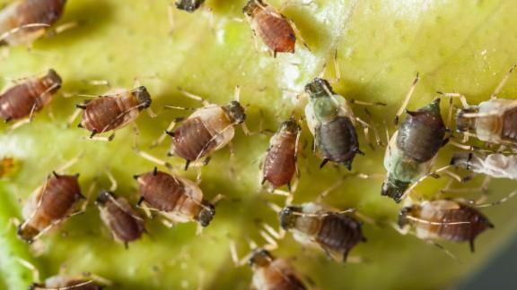 Napadení rostlin mšicí