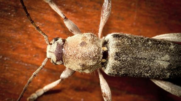 Tesařík krovový (Hylotrupes bajulus)