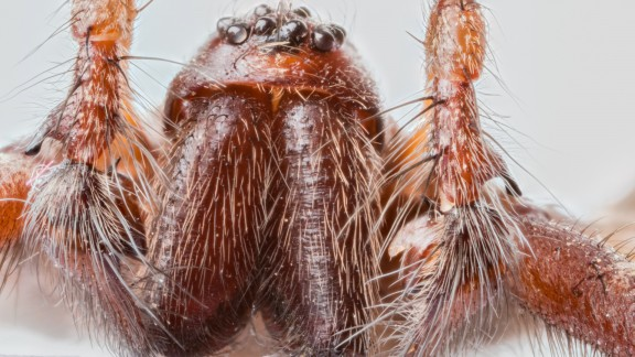 Pokoutník domácí (Tegenaria domestica)