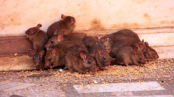Přemnožení krys