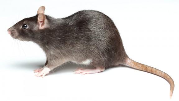 Krysa obecná (Rattus rattus)