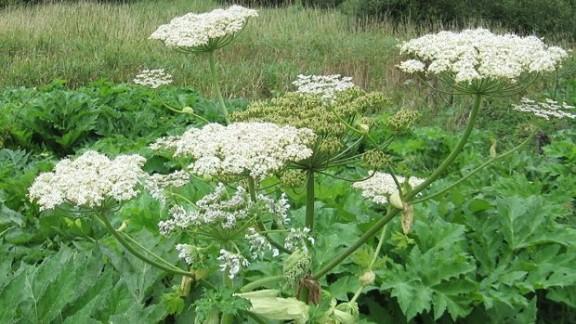 Bolševník v květu