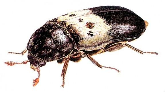 Kožojed obecný (Dermestes lardarius)