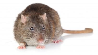 Potkan obecný