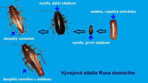 Rus domácí (Blattella germanica)