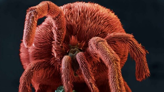 Sametka podzimní (Trombicula autumnalis)