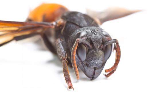 Sršeň obecná (Vespa crabro Linnaeus)