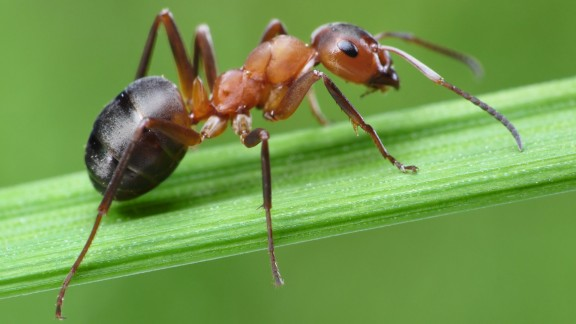 Mravenec pastvinný (Formica exsecta)