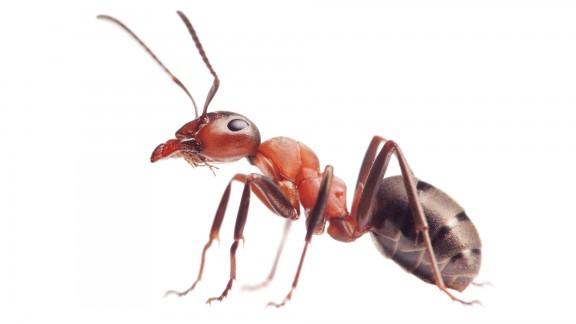 Mravenec loupeživý (Formica sanguinea)
