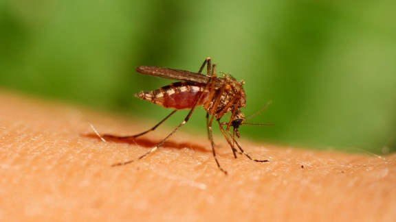 Komár obtížný (Culex pipiens molestus) sající