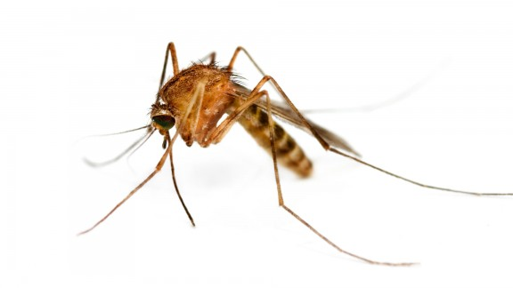 Komár obtížný (Culex pipiens molestus)